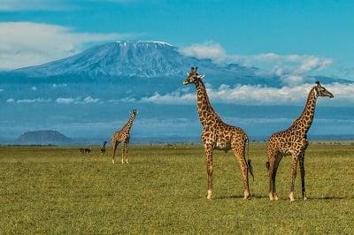 Giraffes, Ol Donyo Lodge
