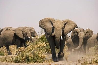 Elephants at Great Plains Botswana